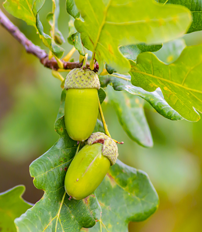 Acorns on the leaves of an oak tree. Natural background.